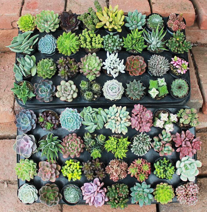 Succulents Monthly box